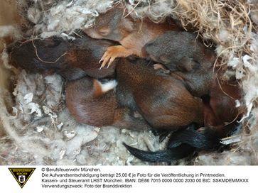 Eichhörnchen im Nest
