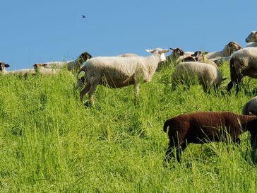 Schafe am Elbdeich im Frühjahr