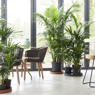 """Grüne Oase mit der Kentia-Palme / Das grüne Office / Positive Effekte von Pflanzen am Arbeitsplatz / Bild: """"obs/Blumenbüro Holland"""""""