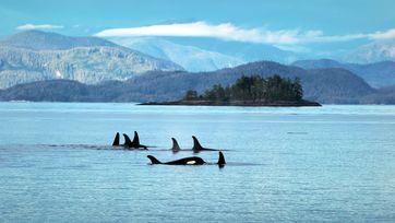"""Orcas """"unterhalten"""" sich während der Vorbereitung ihrer Beutezüge intensiv miteinander. Bild: ZDF Fotograf: AnthroMedia"""