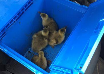 Diese Gänseküken transportierte die Autobahnpolizei in den sicheren Garten einer Tierschutzorganisation. Bild: Polizeipräsidium Dortmund