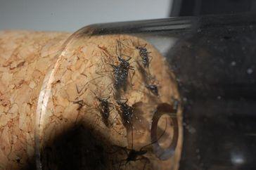 Die Asiatische Tigermücke (Aedes albopictus), hier gefangen in Rovinj (Kroatien), breitet sich im Zuge des Klimawandels weiter aus. Quelle: © Senckenberg (idw)