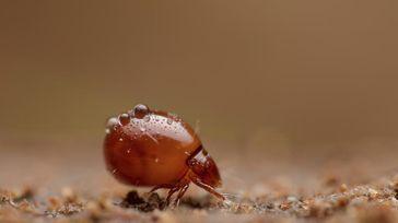 Hornmilbe der Familie Euphthiracaridae. Diese Milben reisen lebend im Darm von Schnecken. Quelle: Andy Murray (idw)