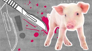 Foodwatch: Stoppt die Ferkelkastration