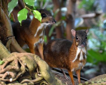 Kleinkantschile (Tragulus javanicus) sind lebende Vertreter der Hirschferkel und nur auf Java heimisch. Sie gehören mit einem Gewicht von ca. 2 kg zu den kleinsten Paarhufern der modernen Welt. Quelle: Foto: Tierpark Hellabrunn, Fotografin S. Held (idw)