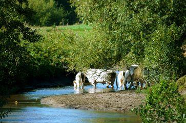 Rinder in einer sandigen Aue