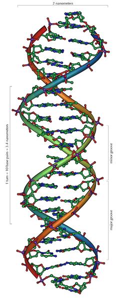 Strukturmodell eines Ausschnitts aus der DNA-Doppelhelix (B-Form) mit 20 Basenpaarungen