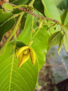 Katzenkralle (Uncaria tomentosa) ist eine Pflanzenart aus der Gattung Uncaria innerhalb der Familie der Rötegewächse (Rubiaceae). Sie ist besonders als Bestandteil in Medikamenten bekannt.