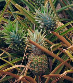 Ananas (Ananas comosus), Ananaspflanze mit reifem Fruchtstand