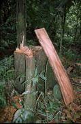 Mahagonigewächs d. Gattung Cedrela. - Ob ein ganzer Baum oder nur ein Span, eine kurze genetische Sequenz aus dem Zellkern ermöglicht jetzt die Identifizierung der Art. Copyright: Alexandra N. Müllner