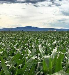 Massenanbau von Energiepflanzen schadet Artenvielfalt.