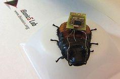 Cyber-Schabe: biologischer Roboter in Aktion. Bild: ncsu.edu