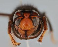 Asiatische Hornisse: Art bedroht Bienen.