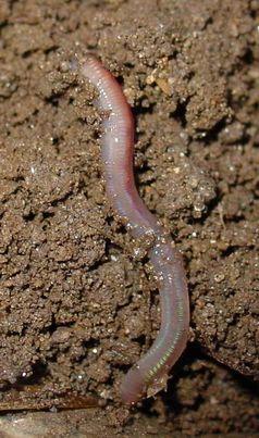 Regenwurm im Bodenprofil