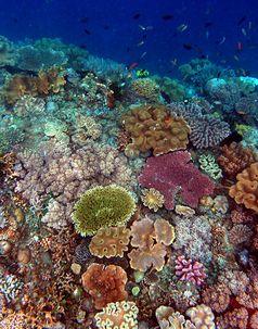 Korallenriff an der Nordküste von Osttimor mit Stein- und Lederkorallen