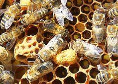 Bienen: sollen über Menschenhirn Auskunft geben. Bild: pixelio.de/Dumat