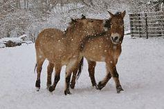 Przewalski-Pferde im Schneetreiben Bild: de.wikipedia.org