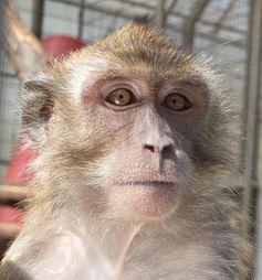 Javaneraffenweibchen Sally hat bei den Intelligenztests am DPZ mitgemacht. Quelle: Vanessa Schmitt / Deutsches Primatenzentrum GmbH (idw)