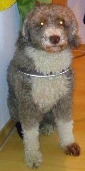 Hund im Schafspelz