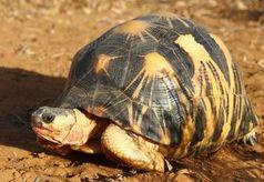 Madagaskar-Strahlenschildkröte von Ausrottung bedroht.