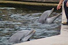Die hochsensiblen Delfine leiden in Gefangenschaft enorm. Bild: PETA