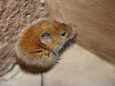 Maus: falsche Erinnerungen werden hervorgerufen (Foto: pixelio.de, U. Velten)