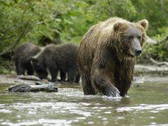 Kamtschatka-Braunbär. © WWF / Peter Prokosch