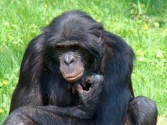 Schimpanse: Er ernährt sich besser als der Mensch.