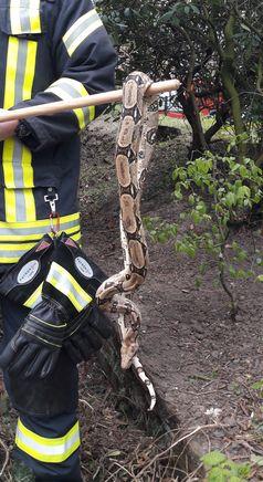 Die aufgenommene Schlange. Bild: Feuerwehr Kleve