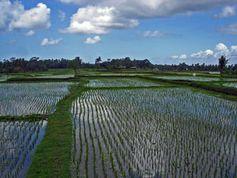 Rohstoff für neuen Kat kommt vom Reisfeld.