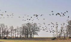 Zugvögel: Ein Protein sorgt für Orientierung. Bild: uschi dreiucker/pixelio.de