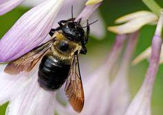 Bienen: Ihre Flügel sind das Vorbild. Bild: flickr.com/Mark Turnauckas