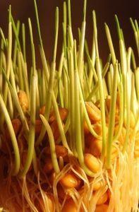 Ausgangsstoff für Biosprit: Anbau oft gefährlich. Bild: pixelio.de, Großmann