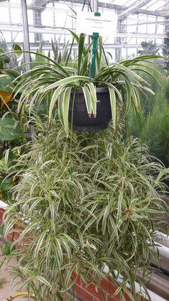 Grünlilie (Chlorophytum comosum 'Variegatum')