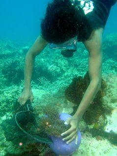 1. Indonesischer Fischer beim Fang eines Anemonenfisches, Spermonde-Archipel Quelle: Foto: Leyla Knittweis, ZMT (idw)