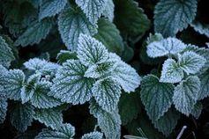Frost bildet sich nur auf den Erhebungen der Blätter.
