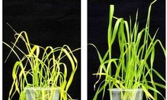 Dürregestresster Weizen ohne (li.) und mit OP-Behandlung.
