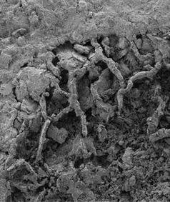 Ein Stück eines versteinerten Myzels.