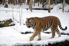 Sibirischer Tiger (Männchen) Bild: Appaloosa / de.wikipedia.org