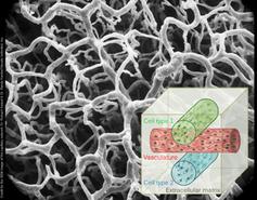 3D-Druckerzeugnis: Blutgefäße lassen sich herstellen. Bild: wyss.harvard.edu