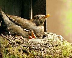 Vogelnest: Tiere wählen Materialien bewusst aus. Bild: pixelio.de, U. Velten