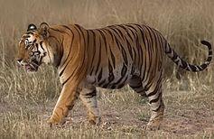 Der Tiger (Panthera tigris) ist eine in Asien verbreitete Großkatze. Er ist die größte aller lebenden Katzenarten und aufgrund des charakteristischen dunklen Streifenmusters auf goldgelbem bis rotbraunem Grund unverwechselbar.