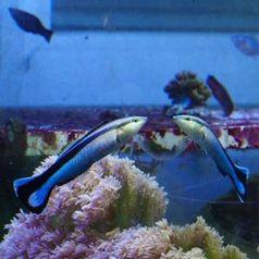 Putzerfische scheinen sich selbst im Spiegel zu erkennen.