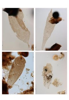 Beispiele für fossile Schmetterlings-Schuppen. Bild: Copyright Bas van de Schootbrugge (idw)