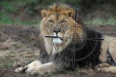Löwenjagd in Südafrika Bild: VIER PFOTEN