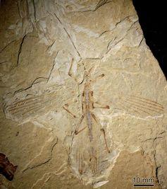 Fossil einer Stabschrecke aus der Jehol-Gesteinsgruppe im Nordosten Chinas. Quelle: Foto: Capital Normal University, Peking, China (idw)