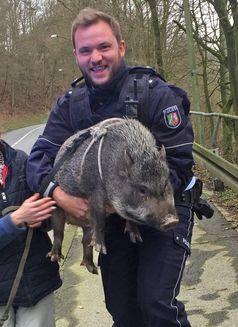 Hängebauchschwein Ursel Bild: Polizei