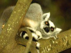 Der Katta, eine Lemurenart, kommt nur auf Madagaskar vor. Bild: Ralf Becker / WWF