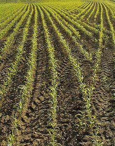 Junge Maispflanzen