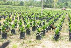 Palmöl-Plantage: verheerende Klimabilanz. Bild: Flickr/Tucano